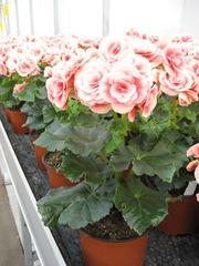 Бегония,  бегония купить,  примула,  азалия,   подарок к 8 марта,  цветы