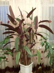 Продам комнатное растение КТЕНАНТЕ