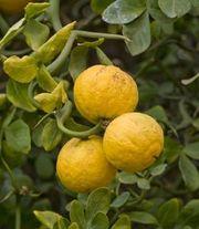 Копнатные плодовые растения