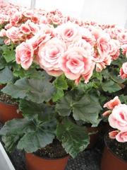 Бегония,  бегония купить,  бегония цена,  цветы,  купить подарок на 8 март