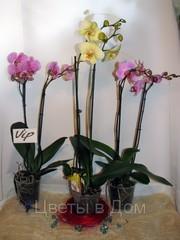 Орхидея Фаленопсис, Орхидея Фаленопсис