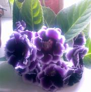 Предлагаю глоксинии: цветущие,  черенки