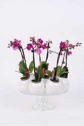 Продажа орхидей в Киеве. Доставка бесплатная.