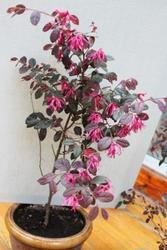 Лоропеталум растение из Японии