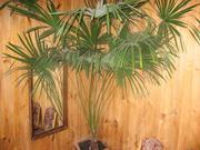 веерная пальма Трахикарпус Форчуна