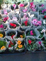 Продам цветущие циклоамены