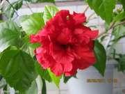 New от 03.12.2014 Комнатные цветы