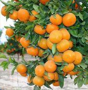 Апельсин  комнатный и др. саженцы цитрусовых Георгий Кировоград.