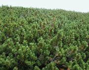 Продажа хвойных деревьев. Пушистые,  свежесрубленные. Оптом. От 200 шт.