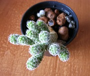 Продам Mammillaria gracilis