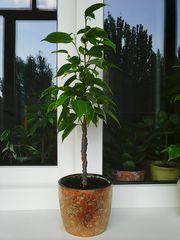 Фикусы(Кинки, Али, Нина)вечнозёленые растения
