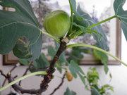 продам Инжир дерево
