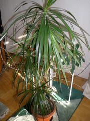 Продам пальму Драцена (драконье дерево)