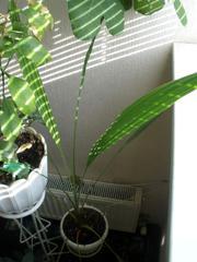 Продам Финиковая пальма