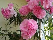 Саженцы олеандра (розовый,  махровый)