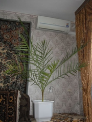 финиковая пальма 17 лет