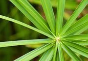 Циперус очереднолистный (Cyperus alternifolius)
