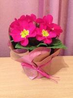 Подарок к 8 марта. Примула,  Бегония,  цветок,  цена,  купить,  оптом
